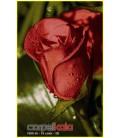 roz ghermez